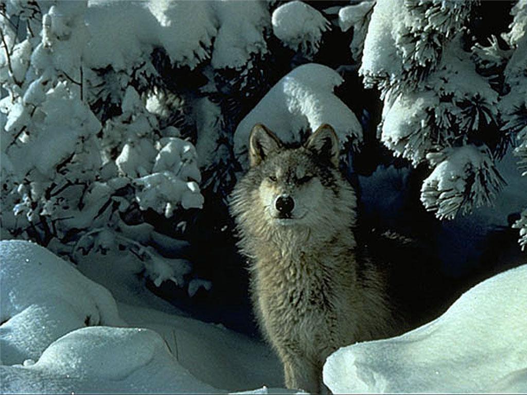 Волк волки животные